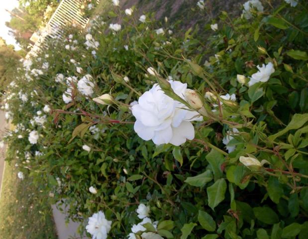 薔薇の垣根_6337