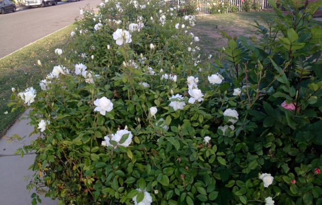 薔薇の垣根_6338